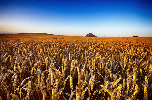United Kingdom, Scotland, East Lothian, North Berwick, Field of oats, Avena sativa, in the evening light:スマホ壁紙(壁紙.com)