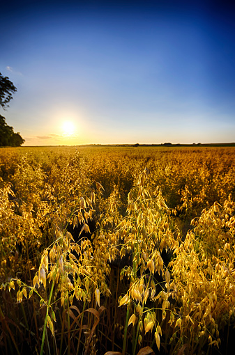 East Lothian「United Kingdom, Scotland, East Lothian, North Berwick, Field of oats, Avena sativa, at sunset」:スマホ壁紙(11)