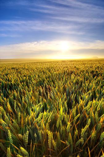 East Lothian「United Kingdom, Scotland, East Lothian, Wheat field, Triticum sativum, against the sun」:スマホ壁紙(19)