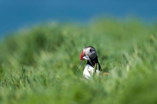 Animals Hunting「United Kingdom, England, Skomer, Atlantic puffin with prey」:スマホ壁紙(4)