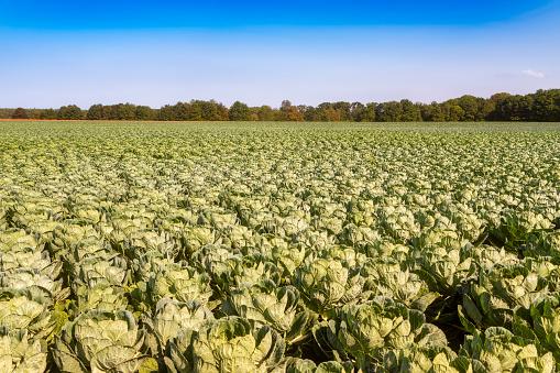 East Lothian「United KIngdom, East Lothian, field of brussels sprouts, Brassica oleracea」:スマホ壁紙(8)