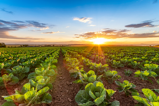 Crop - Plant「United KIngdom, East Lothian, field of brussels sprouts, Brassica oleracea, against the evening sun」:スマホ壁紙(14)