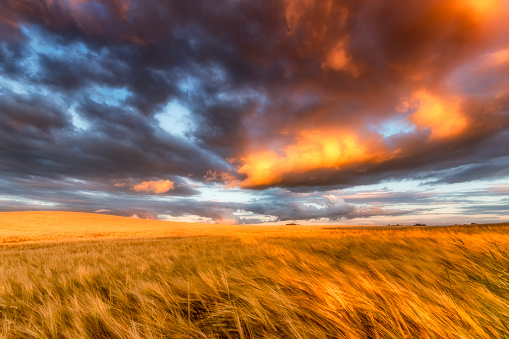 East Lothian「United Kingdom, East Lothian, barley field at sunset」:スマホ壁紙(15)