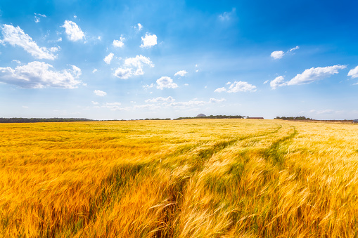 East Lothian「United KIngdom, East Lothian, Barley field」:スマホ壁紙(4)