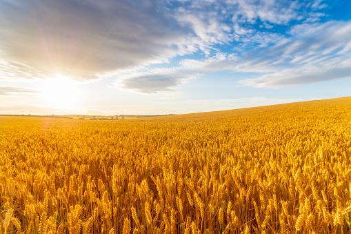 East Lothian「United KIngdom, East Lothian, Wheat field, Triticum sativum, against the sun」:スマホ壁紙(12)