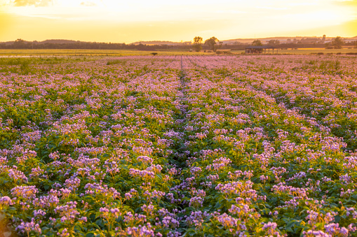 East Lothian「United KIngdom, East Lothian, flowering potato field, Solanum tuberosum, at sunrise」:スマホ壁紙(10)