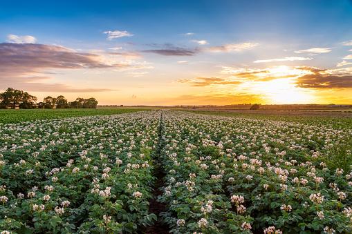 East Lothian「United KIngdom, East Lothian, flowering potato field, Solanum tuberosum, at sunset」:スマホ壁紙(18)
