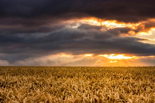 East Lothian「United Kingdom, East Lothian, wheat field at sunset」:スマホ壁紙(8)