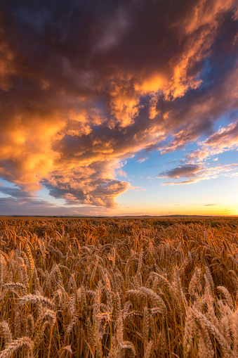 East Lothian「United Kingdom, East Lothian, wheat field at sunset」:スマホ壁紙(10)