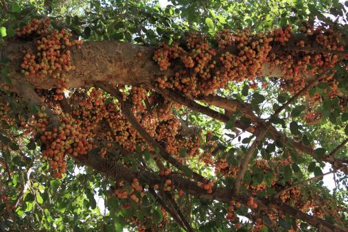 セイヨウカジカエデ「Food on Tree」:スマホ壁紙(14)