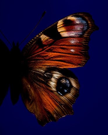 Specimen Holder「Part of butterfly with eye」:スマホ壁紙(8)