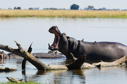 カバ「Hippo male shows dominance, Chobe river, Botswana」:スマホ壁紙(17)