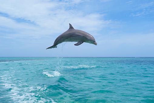 Central America「Honduras, Roatan, bottlenose dolphin jumping in the air」:スマホ壁紙(4)
