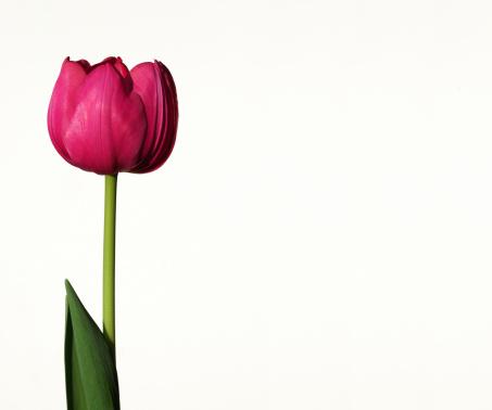 チューリップ「ピンクのチューリップ」:スマホ壁紙(18)