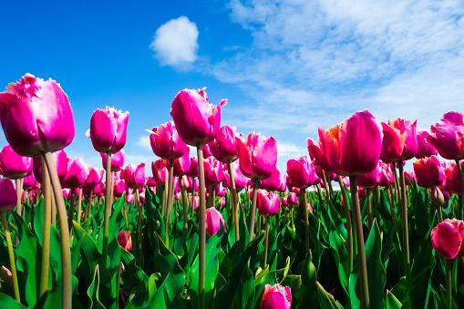 チューリップ「Pink Tulip field, Lisse, Netherlands」:スマホ壁紙(9)