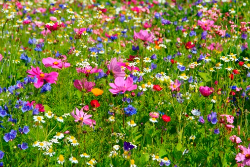 Bunt「A field of vibrant multicolored wild flowers in full bloom」:スマホ壁紙(9)