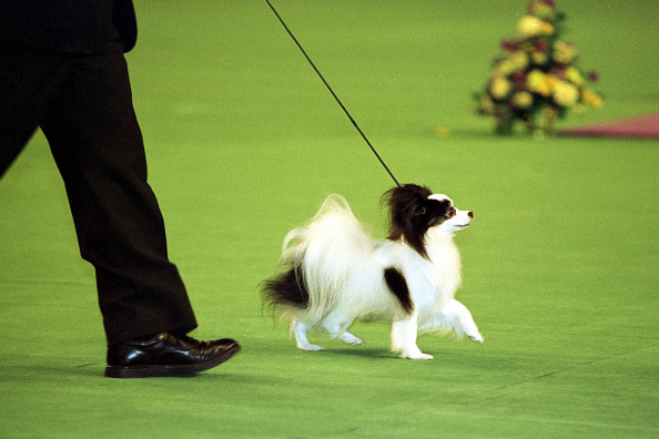 Success「Best-In-Show winner at the Westminister Dog show Struts his stuff in the center ring.」:写真・画像(18)[壁紙.com]