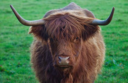 Long Hair「Yak With Large Horns; Scottish Borders Scotland」:スマホ壁紙(3)