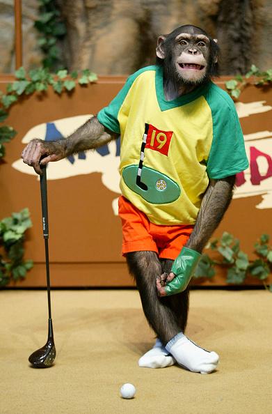 Tame「Rudi The Chimpanzee Plays Golf」:写真・画像(16)[壁紙.com]