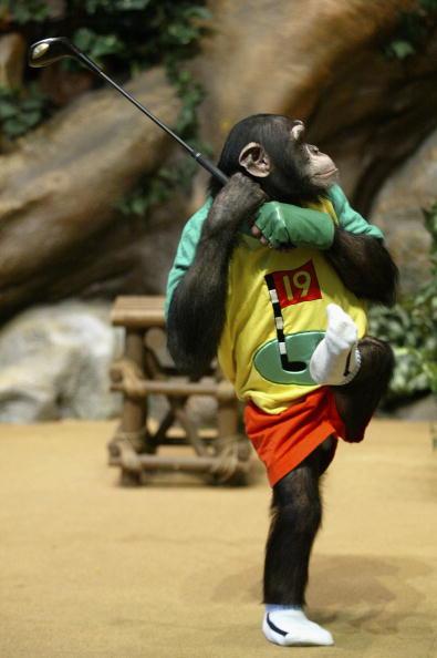 ゴルフ「Rudi The Chimpanzee Plays Golf」:写真・画像(18)[壁紙.com]