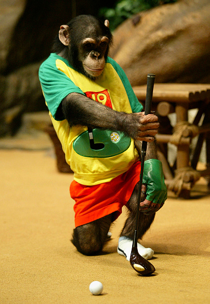 Tame「Rudi The Chimpanzee Plays Golf」:写真・画像(17)[壁紙.com]
