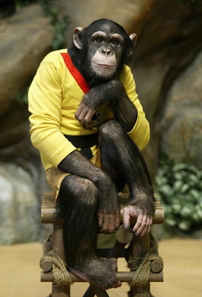 Tame「Rudi The Chimpanzee Plays Golf」:写真・画像(13)[壁紙.com]