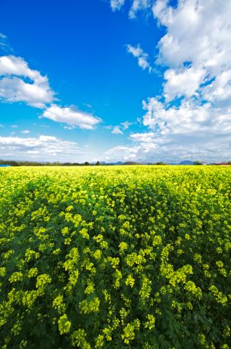 里山「White Mustard Field」:スマホ壁紙(13)