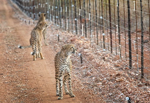 African Cheetah「Three cheetahs walking along fence line looking to through the fence」:スマホ壁紙(9)