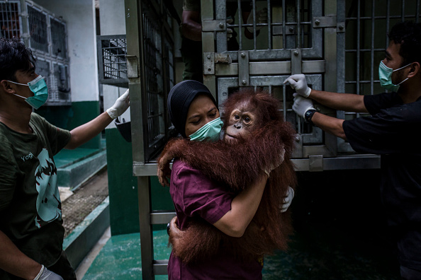 animal「Indonesia's Orangutans Battle With Deforestation」:写真・画像(19)[壁紙.com]