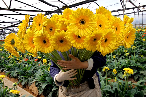 Greenhouse「Flower Exports To Europe For Valentines Day」:写真・画像(4)[壁紙.com]
