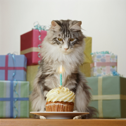 Animal Whisker「Adult Maine Coon Cat by presents, looking at birthday cupcake」:スマホ壁紙(10)