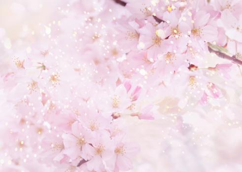 Cherry Blossom「Spring has Come」:スマホ壁紙(1)