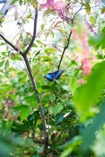 International Biosphere Reserves「Blue Morph butterfly Costa Rica」:スマホ壁紙(4)