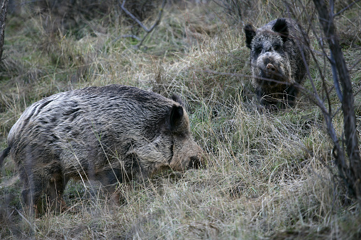 猪「Wild boar (Sus scrofa)」:スマホ壁紙(5)