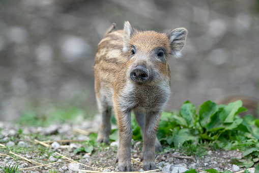 Boar「Wild Boar piglet, Austrian Alps, Grunau im Almtal, Gmunden, Austria」:スマホ壁紙(15)