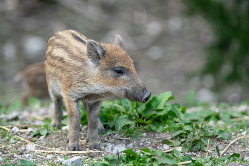 猪「Wild Boar piglet, Austrian Alps, Grunau im Almtal, Gmunden, Austria」:スマホ壁紙(16)