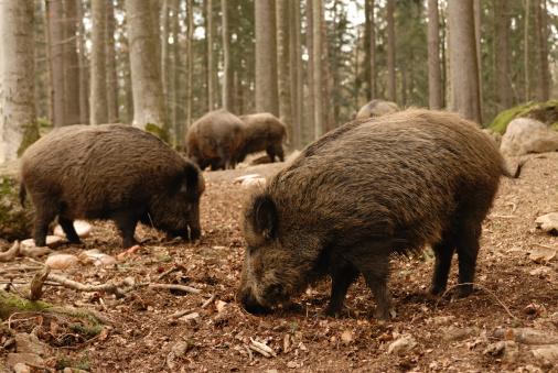 猪「猪」:スマホ壁紙(11)