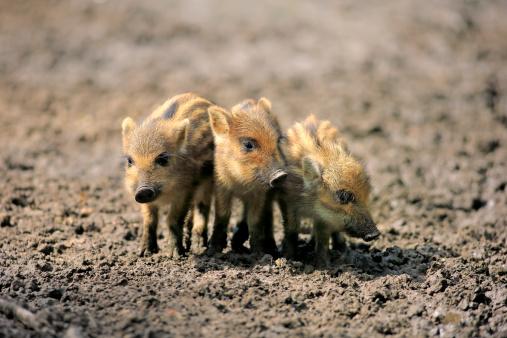 Boar「Wild boar」:スマホ壁紙(17)