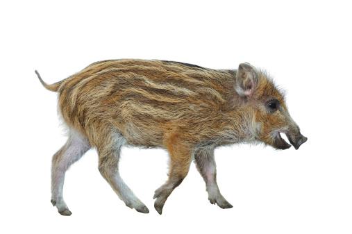猪「猪 Piglet (Sus scrofa」:スマホ壁紙(7)