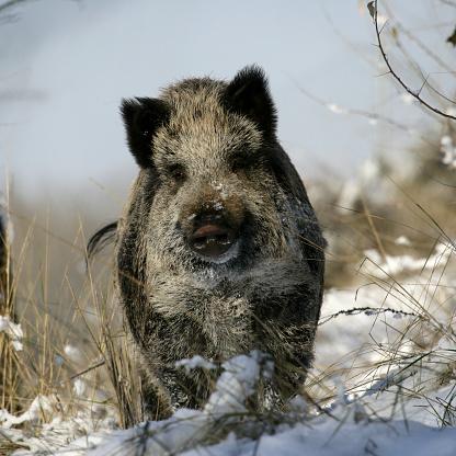 猪「wild boar, pig, wild boar (Sus scrofa)」:スマホ壁紙(6)