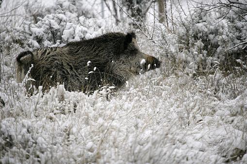 猪「wild boar, pig, wild boar (Sus scrofa)」:スマホ壁紙(4)