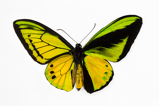 Animal Markings「Male Birdwing Ornithoptera goliath samson」:スマホ壁紙(19)