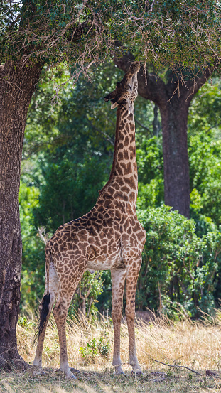 Giraffe「Browsing Giraffe」:スマホ壁紙(18)