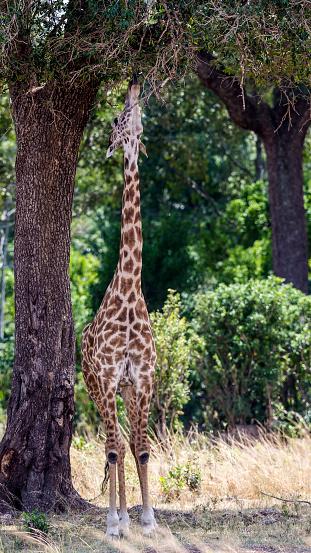 Giraffe「Browsing Giraffe」:スマホ壁紙(19)