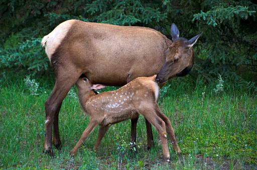 Animal Themes「Baby elk getting milk from mother」:スマホ壁紙(0)