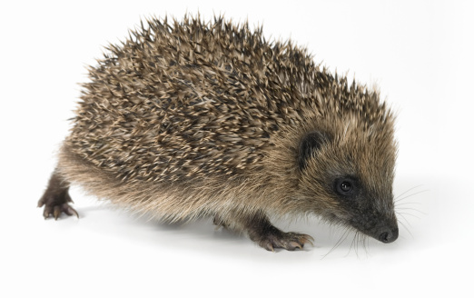 Hedgehog「Hedgehog Standing Against a White Background」:スマホ壁紙(8)