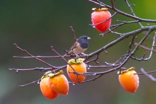 柿の木「Dark-eyed Junko Bird」:スマホ壁紙(1)