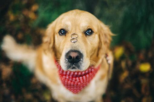 結婚「Labrador dog with two wedding rings on his nose」:スマホ壁紙(18)