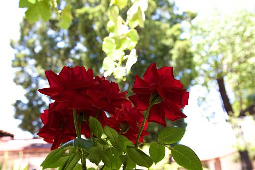 バラ「Red roses, view from below」:スマホ壁紙(16)