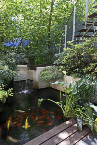 Carp「Water feature with Koi carp and Papyrus in patio of contemporary house」:スマホ壁紙(15)